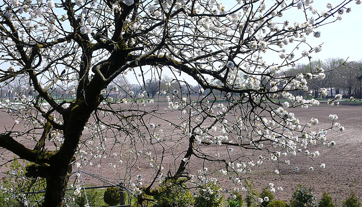 Kirschblüte_4