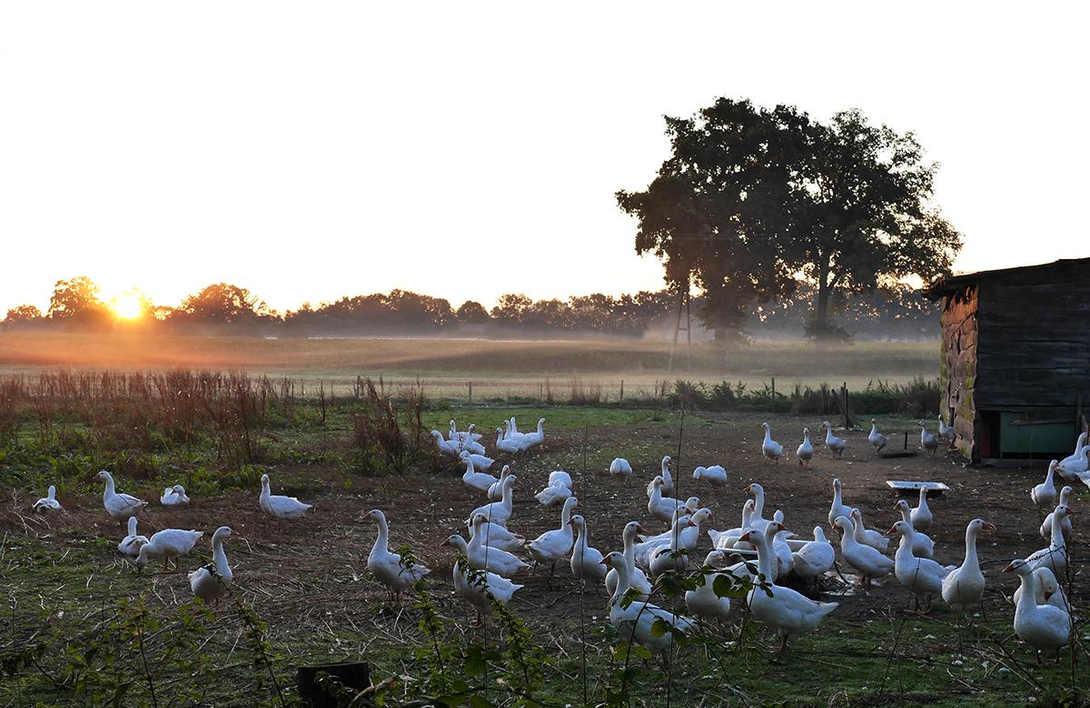 Sonneaufgang mit Gänsen